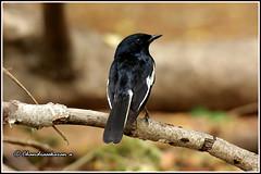 7000 - magpie robin (chandrasekaran a 40 lakhs views Thanks to all) Tags: magpierobin birds nature india chennai canon60d tamronsp150600mmg2