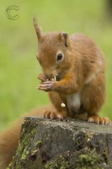 Eskrigg 14-07-2017 (CallumLaird) Tags: squirrels sony a77 70400 g camera slt lens nature green trees nuts eskrigg lockerbie scotland unitedkingdom gb
