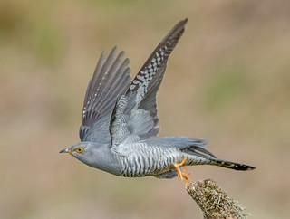 JWL8510  Cuckoo..