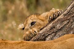 Lions of Maasai Kopjes 407 (Grete Howard) Tags: bestsafarioperator bestsafaricompany africa africansafari africanbush africananimals whichsafaricompany whichsafarioperator tanzania serengeti animals animalsofafrica animalphotos lions lioncubs maasaikopjes kopjes kopje