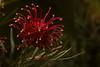 Flores & Flowers (DuAugusto) Tags: flor flores flowers flower macro nature natureza belezadanatureza florzinha cabulosa gosteidessa