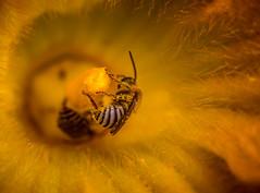 pumpkin pollinator (auntneecey) Tags: bee yellow pumpkinpollinator blossom hairydetails macro closeup 365the2017edition 3652017 day188365 7jul17