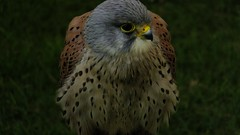 Watcher Of The Skies Watcher Of All (hope2029) Tags: kestrel male yellow beak hunting kirkstall leeds west yorkshire