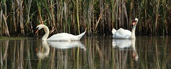 Mr ad Mrs Mute Swan (Bogger3.) Tags: muteswans venuspool reflections canon600d tamron150x600lens fullzoom coth coth5