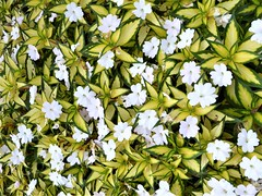 Wheaton, IL, Cantigny Park, White Flowers with Variegated Leaves (Mary Warren (8.7+ Million Views)) Tags: wheatonil cantignypark nature flora plants leaves foliage green variegation white blooms blossoms flowers