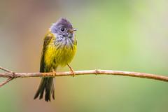 The shining star (shoothekuruvi) Tags: birds indianbirds india westernghats flycatcher yellow gray perch softlight dof 300mm nikon