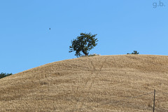 Sulla collina (G@Bon@z) Tags: albero grano collina rondine