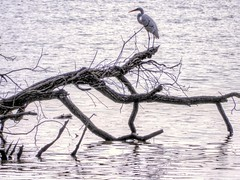 A Limb is a Limb! (clarkcg photography) Tags: bird river heron crane egret white water fish fishing nature fauna sundayfauna 7dwf