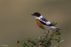 Hodgson's bushchat (Saxicola insignis) Өгөөлэй шулганаа (Tuvshintogs) Tags: birdsofmongolia bushchat
