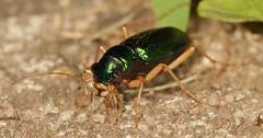 First of year at colony (cotinis) Tags: insect beetle coleoptera carabidae tetracha tetrachavirginica megacephala megacephalavirginica tigerbeetle virginiametallictigerbeetle northcarolina piedmont sigma150mmexdgf28macro inaturalist