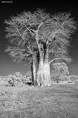 Baobab Tree (naturalturn) Tags: savanna baobab tree infrared blackwhite blackandwhite savuti chobe chobenationalpark botswana image:rating=5 image:id=206158