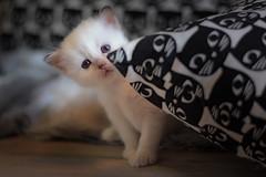 3color2-1 (Uniquva) Tags: sacredbirman kittens
