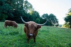 Horns @ Amsterdamse Bos (PaulHoo) Tags: fujifilm fuji x70 amsterdamse bos holland netherlands highlander animal cow portrait closeup schotse hooglander 2017 angry horn grass forest