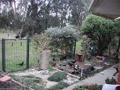 My view of the wild life from my office window (spelio) Tags: backyard garden fence gate paddock july 2017 cracticines corvidae chough