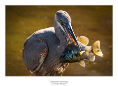 Got ya! (florianpluecker) Tags: heron great blue kanadareiher bird birding wildlife fish catch florida usa corkscrew sanctuary