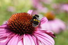 Happy bumble-bee (fdlscrmn) Tags: flowers fauna 7dwf colours colorful garden park bumblebee dof flora
