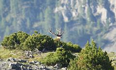Mister K (quanuaua) Tags: ifttt 500px sky nature tree summer beautiful mountain wildlife pine outdoors wild natural light cervo photograph cervus elaphus pics naturephotos no person animali selvatici nobile