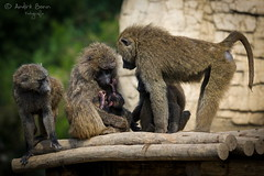 Pavian Familie (ab-planepictures) Tags: pavian affen baby jungtier familie monkey zoo zoom gelsenkirchen
