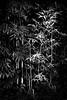 Bamboo con Duende - 001 (ferlopez) Tags: photography camera nikon nikonf4 typeofphotography landscapephotography treatment monochrome blackandwhite film 35mm fuji neopanacross100 what plant bamboo landbodies forest makawao mauihawaii usa