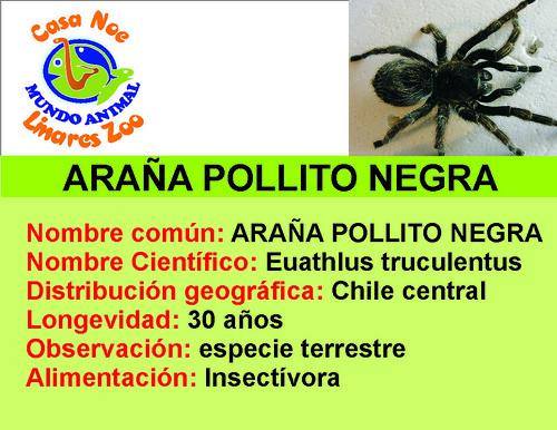 araña póllito negra