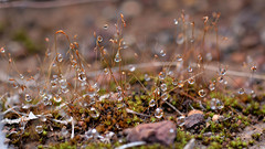 Moss raindrops (jeans_Photos) Tags: moss waterdroplets