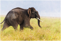 Frolicsome (MaheshChopde) Tags: elephant playful frolicsome forest wildlife nature wild calf green outdoors trunk joy one canon650d canonrebel4i canon moment wildelephant nationalpark nationalreserve tusk tuskar jimcorbett uttrakhand