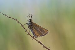 zwartsprietdikkopje (Thymelicus lineola) (peter nijland) Tags: twente dinkelland netherlands vlinder buterfly nature natuur dauw dew tamron 90mm macro