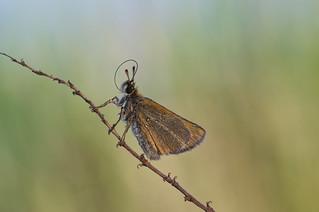 zwartsprietdikkopje (Thymelicus lineola)