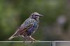 Starling birmingham (stevehimages) Tags: steve stevehimages steveh higgins wowzers warden wildlife bird grandpas den 2017 animal nature feathers feathered friend west midlands