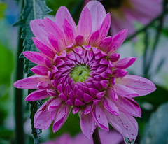 Dahlia in the Sofiero castle garden (frankmh) Tags: plant flower dahlia sofiero sofierocastlegarden helsingborg skåne sweden outdoor macro