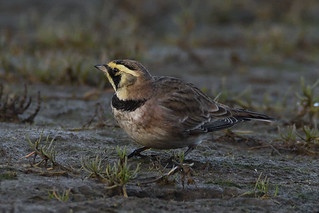 Low Down Lark.