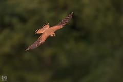 Turmfalke (MD-Pic) Tags: turmfalke falke sächsischeschweiz saxonswitzerland sachsen saxony germany d7100 deutschland nikon sigma 150600 sports falcon hawk kestrel bird v animal tier