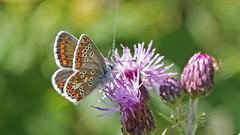 Brown Argos, Female - Aricia agestis (jaytee27) Tags: ariciaagestis browmargosfemale naturethroughthelens