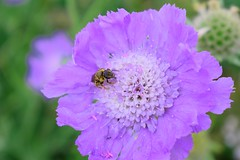 Happy bee on flower (Narek Talatinian) Tags: flower purple nature green pink bee garden plant blossom spring bloom beauty flora macro petal blue summer insect closeup floral petals allium chives happy