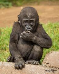 Little Leslie (ToddLahman) Tags: westernlowlandgorilla gorilla littleleslie leslie baby babygorilla beautiful female mammal outdoors photooftheday canon7dmkii canon canon100400 closeup portrait escondido eyelock figs