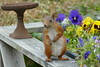 P1000734 (FAJM) Tags: ekorre squirrel écureuil ardilla scoiattolo egern ekorn orava orav sweden sverige viggbyholm stockholm sciurusvulgaris redsquirrel