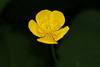 Ranunculus acris var. nipponicus  ミヤマキンポウゲ (ashitaka-f studio k2) Tags: flower yellow japan ranunculus acris var nipponicus ミヤマキンポウゲ キンポウゲ科 ranunculaceae