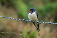 Swallow in the Rain (Camera...Kid) Tags: swallow hirundinidae rain bird feather beak tail wing flight fly black white red barbed wire fence foliage photoshop elements 13 matins haven pembrokeshire wales