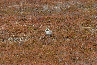 Shorelark (Eremophila alpestris)