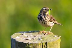 Song Thrush (Silke_Einschuetz) Tags: wales cymru ceredigion coast path clarach bay spring birds song thrush borth