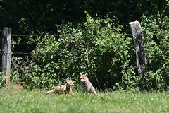 Renarde et renardeaux (highlandserie3) Tags: renard nature renarde renardeau vie sauvage famille wild life family fox