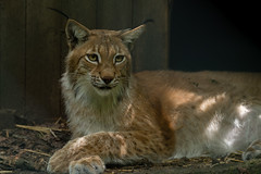 Eurasian lynx (Lynx lynx) (tseehaus) Tags: eurasianlynx lynxlynx wildparksaarbrücken germany