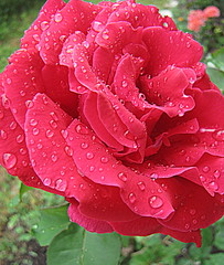 ROSE (Patchwork Daily Desire) Tags: redrose rain drops wet purple red rose clematis flower garden summer