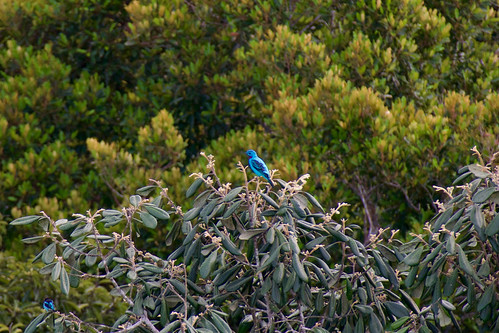 brazil-amazon-cristalino-lodge-blue-bird-copyright-thomas-power-pura-aventura