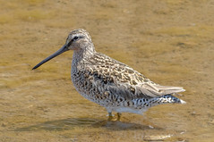 Short-billed Dowitcher (tresed47) Tags: 2017 201705may 20170517snewjerseybirds birds canon7d content dowitcher folder may newjersey peterscamera petersphotos places season shorebirds shortbilleddowitcher spring takenby us wetlandsinstitute