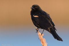 Red-winged Blackbird @ Sunrise (Matt F.) Tags: redwinged blackbird redwingedblackbird