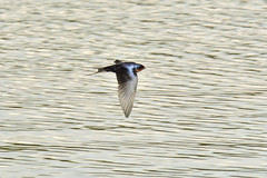 Swallow in flight (Rocky Mountain Guy) Tags: citypark denver co usa