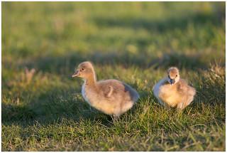 Greylag Goose (juvenile) - Grauwe gans (juveniel) (Anser anser)