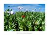 Je suis différent (Fabrice Denis Photography) Tags: nouvelleaquitaine pavots coquelicots charentemaritime projet3652017 sallessurmer france champs fleurs fr