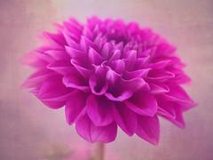 Kindness is compassion and love in perfect harmony (Karsten Gieselmann) Tags: 60mmf28 blumen blüten dahlie dof em5markii farbe mzuiko microfourthirds natur olympus pflanzen rosa schärfentiefe texture blossom color flower kgiesel m43 mft nature pink dahlia